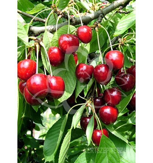 Germersdorfi 3 Cseresznyefa