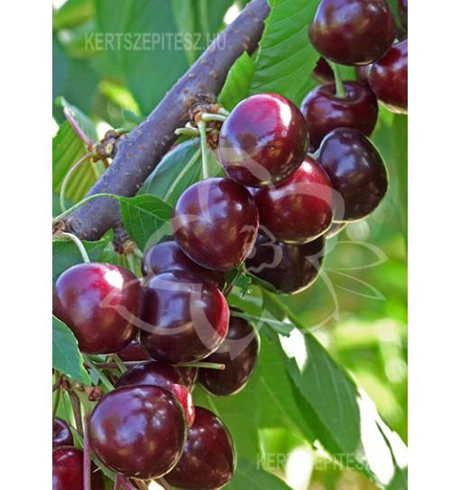 Sunburst Cseresznyefa