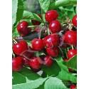 Van Cseresznyefa
