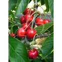 Bigarreau Burlat Cseresznyefa