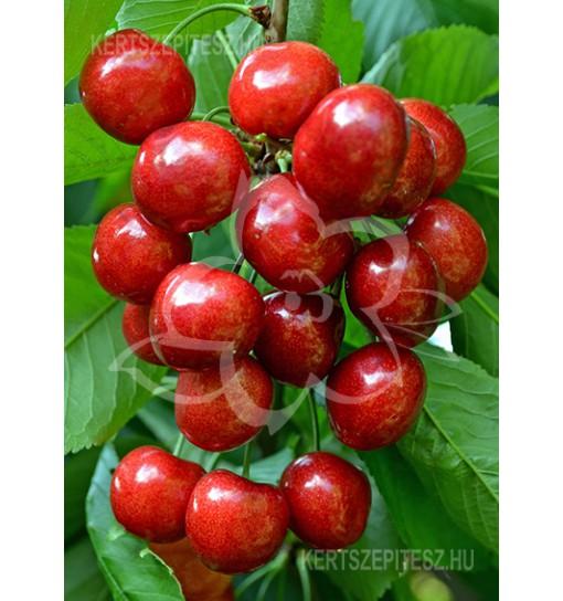 Carmen Cseresznyefa